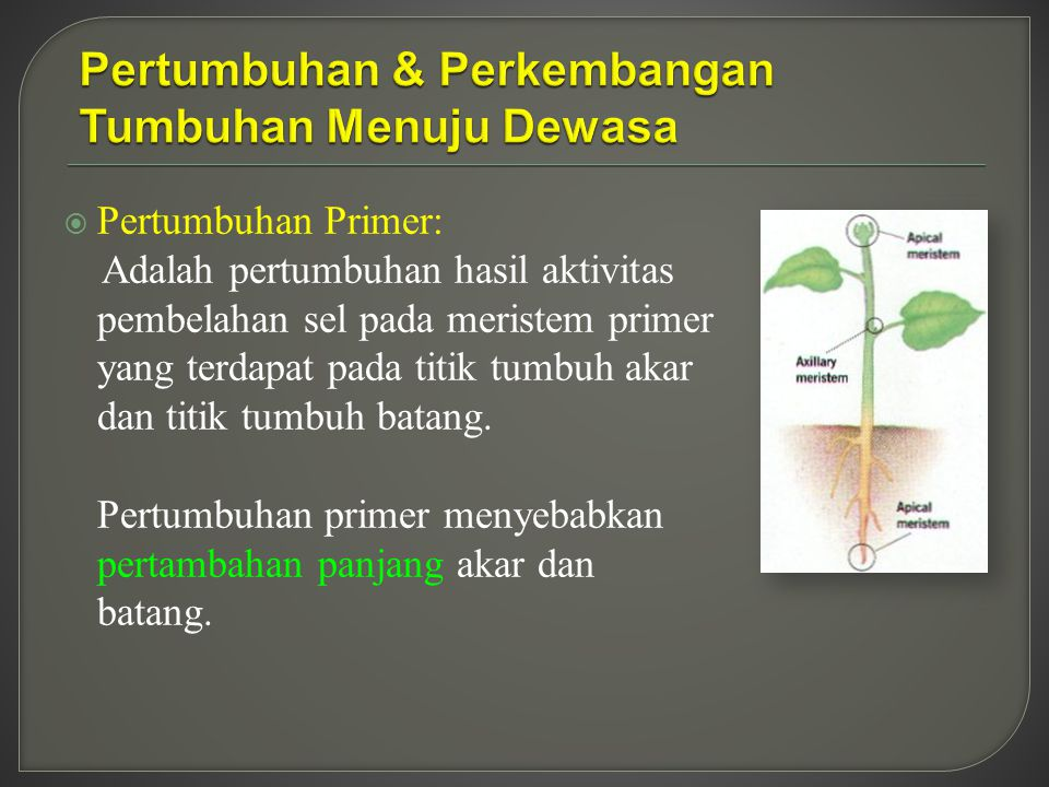  Pertumbuhan Primer: Adalah pertumbuhan hasil aktivitas pembelahan sel pada meristem primer yang terdapat pada titik tumbuh akar dan titik tumbuh batang.