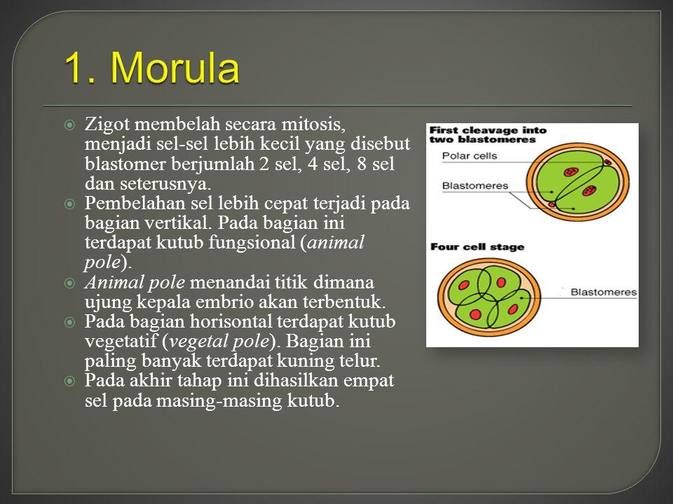  Zigot membelah secara mitosis, menjadi sel-sel lebih kecil yang disebut blastomer berjumlah 2 sel, 4 sel, 8 sel dan seterusnya.  Pembelahan sel leb
