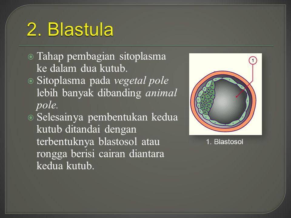  Tahap pembagian sitoplasma ke dalam dua kutub.  Sitoplasma pada vegetal pole lebih banyak dibanding animal pole.  Selesainya pembentukan kedua kut