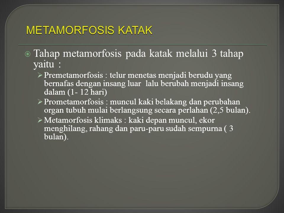  Tahap metamorfosis pada katak melalui 3 tahap yaitu :  Premetamorfosis : telur menetas menjadi berudu yang bernafas dengan insang luar lalu berubah menjadi insang dalam (1- 12 hari)  Prometamorfosis : muncul kaki belakang dan perubahan organ tubuh mulai berlangsung secara perlahan (2,5 bulan).