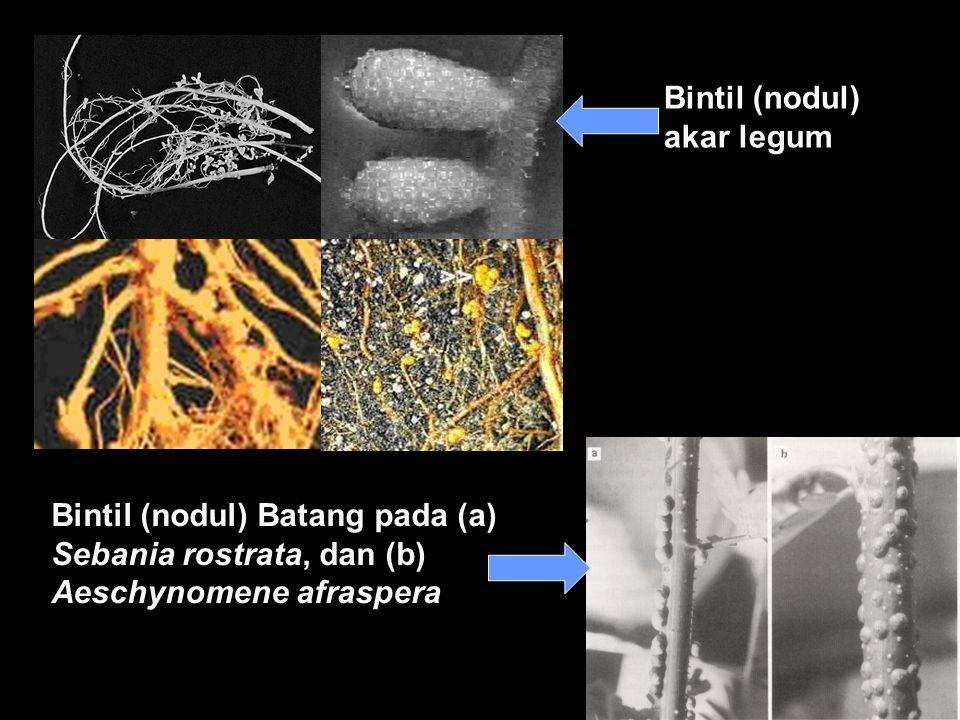 Bintil (nodul) akar legum Bintil (nodul) Batang pada (a) Sebania rostrata, dan (b) Aeschynomene afraspera