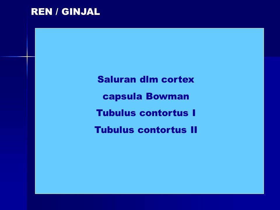 REN / GINJAL Saluran dlm cortex capsula Bowman Tubulus contortus I Tubulus contortus II
