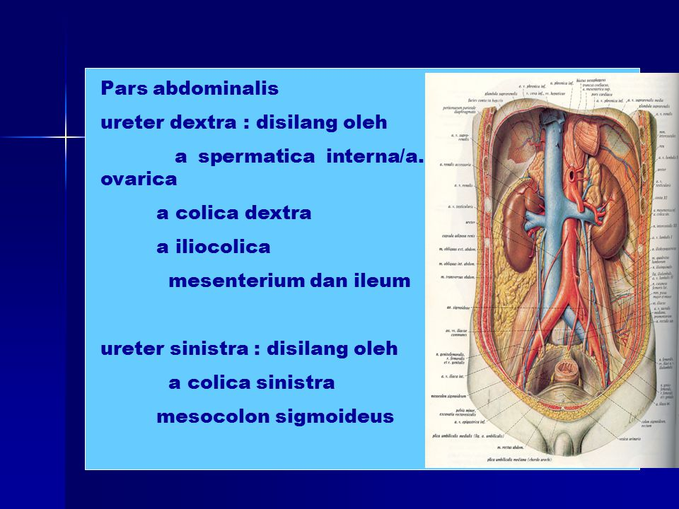Pars abdominalis ureter dextra : disilang oleh a spermatica interna/a. ovarica a colica dextra a iliocolica mesenterium dan ileum ureter sinistra : di