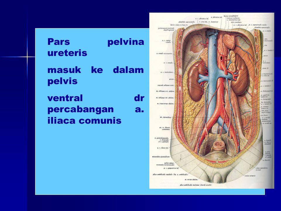 Pars pelvina ureteris masuk ke dalam pelvis ventral dr percabangan a. iliaca comunis