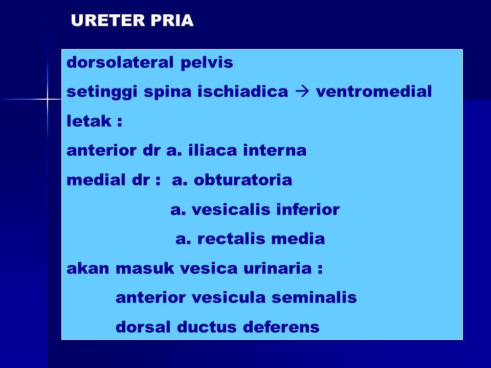 dorsolateral pelvis setinggi spina ischiadica  ventromedial letak : anterior dr a. iliaca interna medial dr : a. obturatoria a. vesicalis inferior a.
