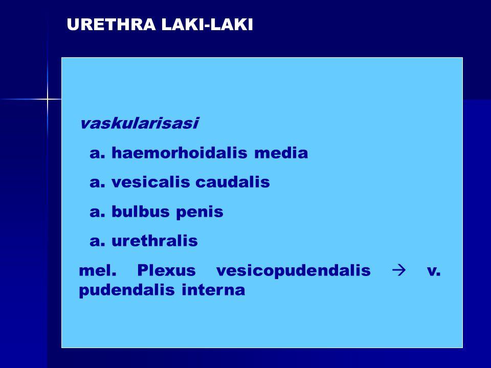 vaskularisasi a. haemorhoidalis media a. vesicalis caudalis a. bulbus penis a. urethralis mel. Plexus vesicopudendalis  v. pudendalis interna