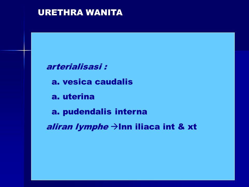 URETHRA WANITA arterialisasi : a. vesica caudalis a. uterina a. pudendalis interna aliran lymphe  lnn iliaca int & xt