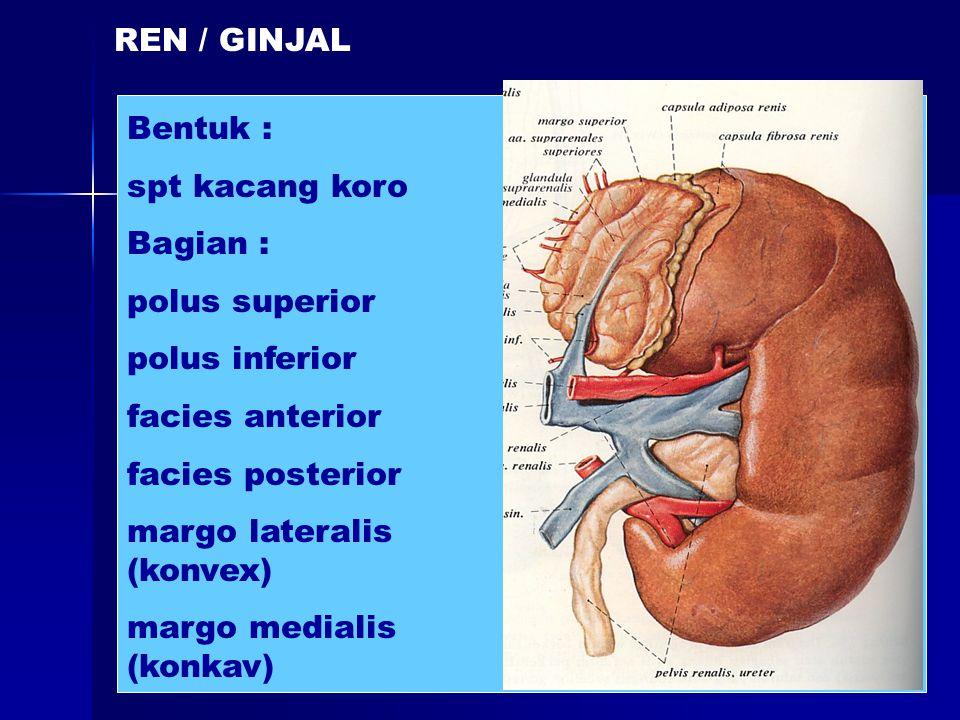REN / GINJAL Bentuk : spt kacang koro Bagian : polus superior polus inferior facies anterior facies posterior margo lateralis (konvex) margo medialis