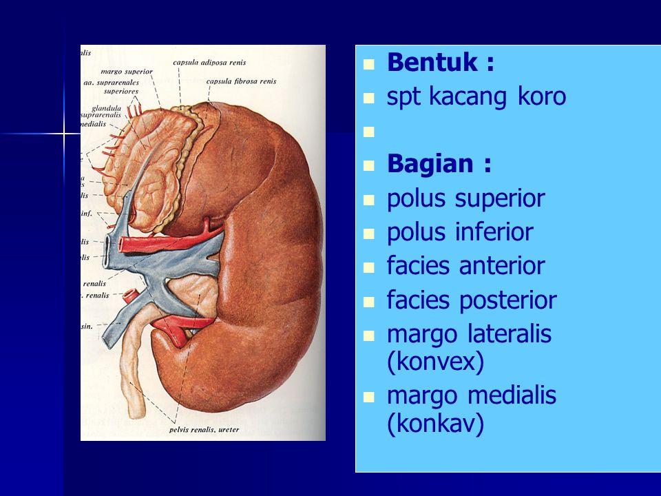Bentuk : spt kacang koro Bagian : polus superior polus inferior facies anterior facies posterior margo lateralis (konvex) margo medialis (konkav)