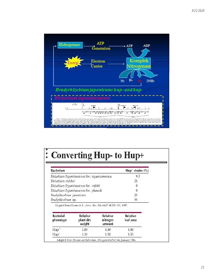 9/21/2010 Energi Komplek Nitrogenase ATP ADP Hidrogenase ATP Generation Electron Carrier H2H2 2NH 3 N2N2 H+H+ Bradyrhizobium japonicum: hup + and hup