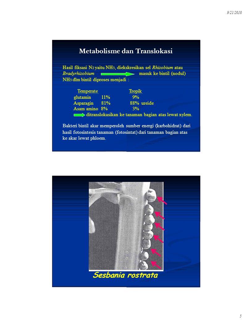 9/21/2010 Metabolisme dan Translokasi Hasil fiksasi N 2 yaitu NH 3, diekskresikan sel Rhizobium atau masuk ke bintil (nodul) Bradyrhizobium NH 3 dlm b
