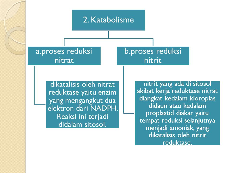 2. Katabolisme a.proses reduksi nitrat dikatalisis oleh nitrat reduktase yaitu enzim yang mengangkut dua elektron dari NADPH. Reaksi ini terjadi didal