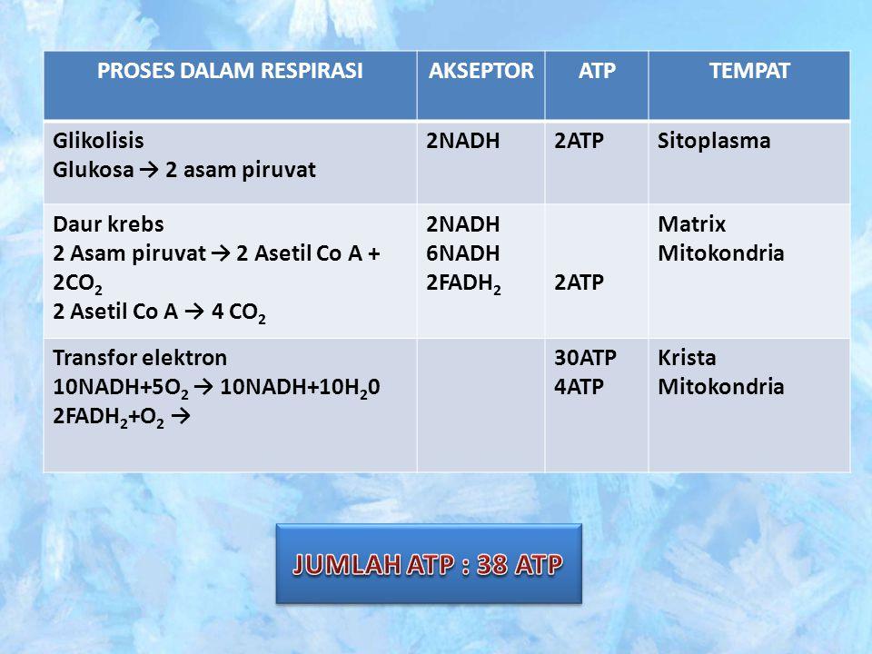 PROSES DALAM RESPIRASIAKSEPTORATPTEMPAT Glikolisis Glukosa → 2 asam piruvat 2NADH2ATPSitoplasma Daur krebs 2 Asam piruvat → 2 Asetil Co A + 2CO 2 2 As