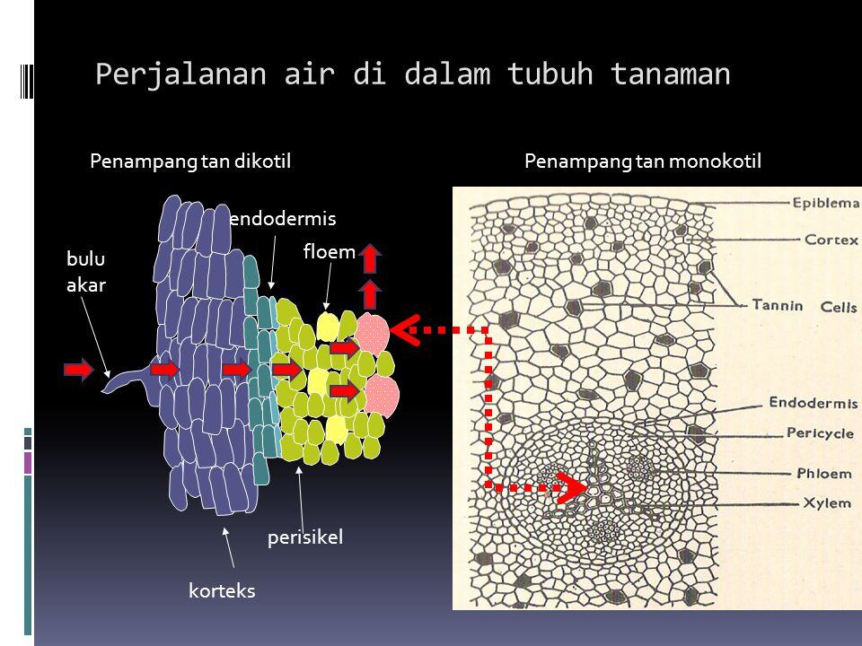 Perjalanan air di dalam tubuh tanaman korteks perisikel floem bulu akar endodermis Penampang tan dikotilPenampang tan monokotil