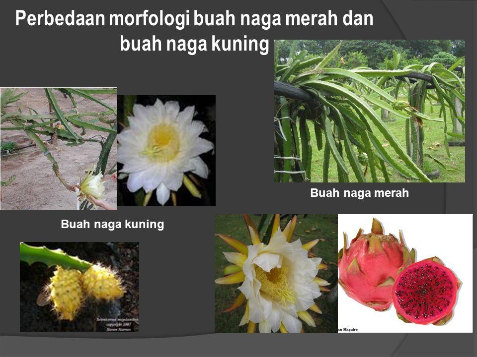 Perbedaan morfologi buah naga merah dan buah naga kuning Buah naga merah Buah naga kuning