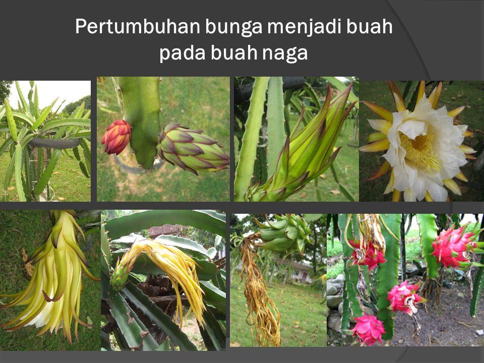 Pertumbuhan bunga menjadi buah pada buah naga