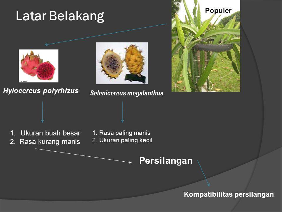 Latar Belakang Populer Persilangan Hylocereus polyrhizus Selenicereus megalanthus 1. Rasa paling manis 2. Ukuran paling kecil 1.Ukuran buah besar 2. R