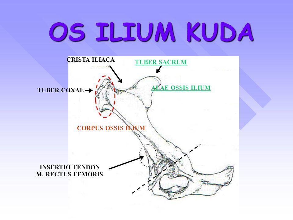 OS ILIUM KUDA TUBER SACRUM TUBER COXAE CRISTA ILIACA CORPUS OSSIS ILIUM ALAE OSSIS ILIUM INSERTIO TENDON M. RECTUS FEMORIS