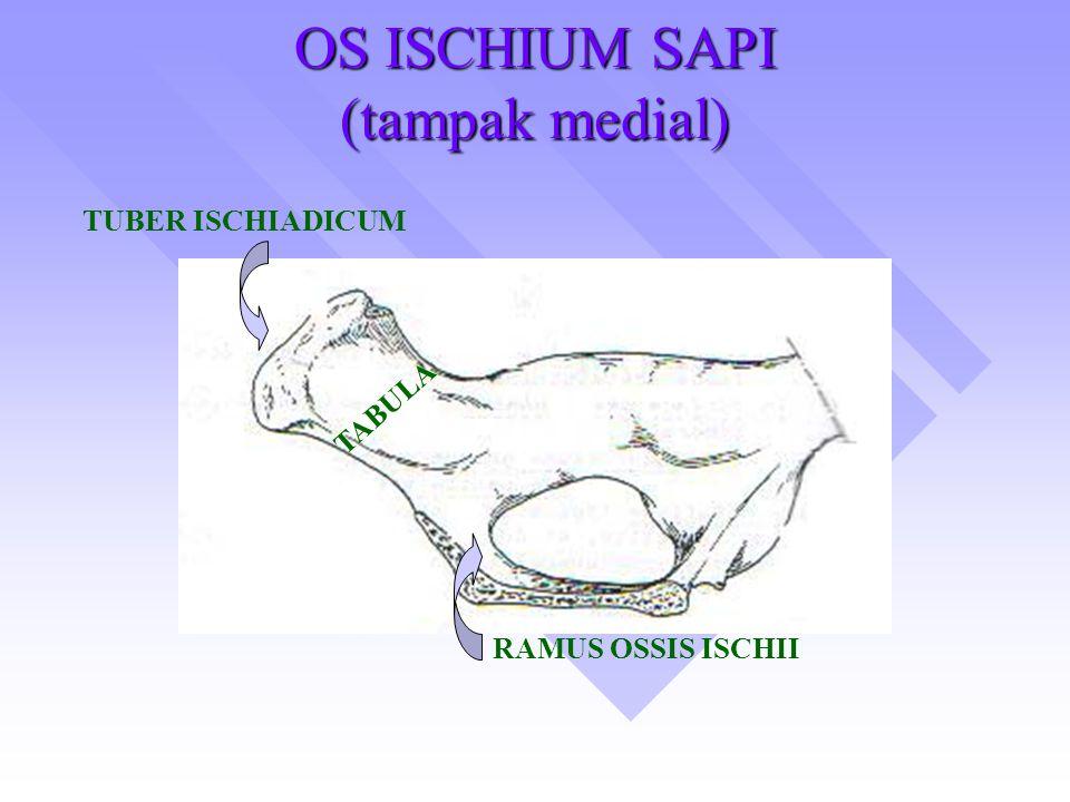 OS ISCHIUM SAPI (tampak medial) TUBER ISCHIADICUM TABULA RAMUS OSSIS ISCHII