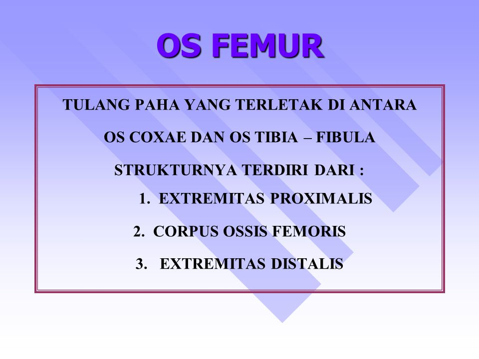 OS FEMUR TULANG PAHA YANG TERLETAK DI ANTARA OS COXAE DAN OS TIBIA – FIBULA STRUKTURNYA TERDIRI DARI : 1. EXTREMITAS PROXIMALIS 2. CORPUS OSSIS FEMORI
