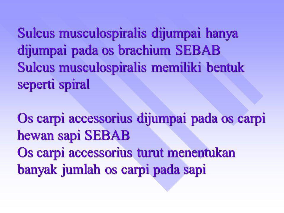 Sulcus musculospiralis dijumpai hanya dijumpai pada os brachium SEBAB Sulcus musculospiralis memiliki bentuk seperti spiral Os carpi accessorius dijum