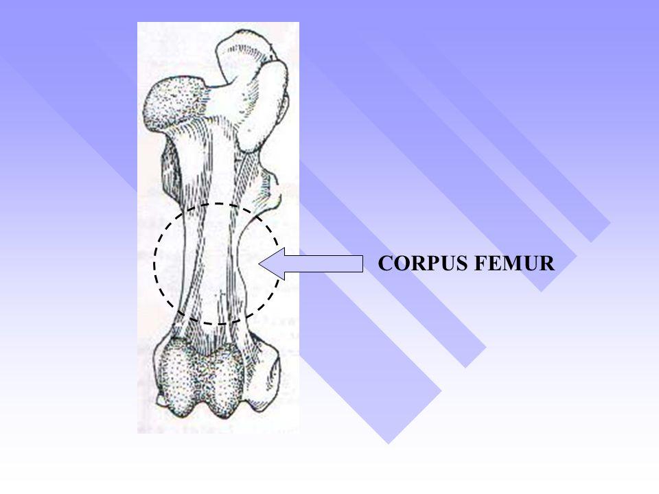 CORPUS FEMUR