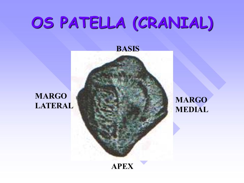 OS PATELLA (CRANIAL) BASIS APEX MARGO MEDIAL MARGO LATERAL