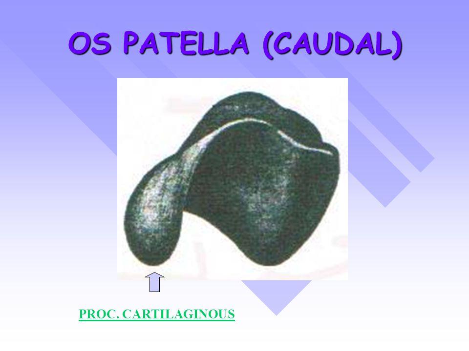 OS PATELLA (CAUDAL) PROC. CARTILAGINOUS
