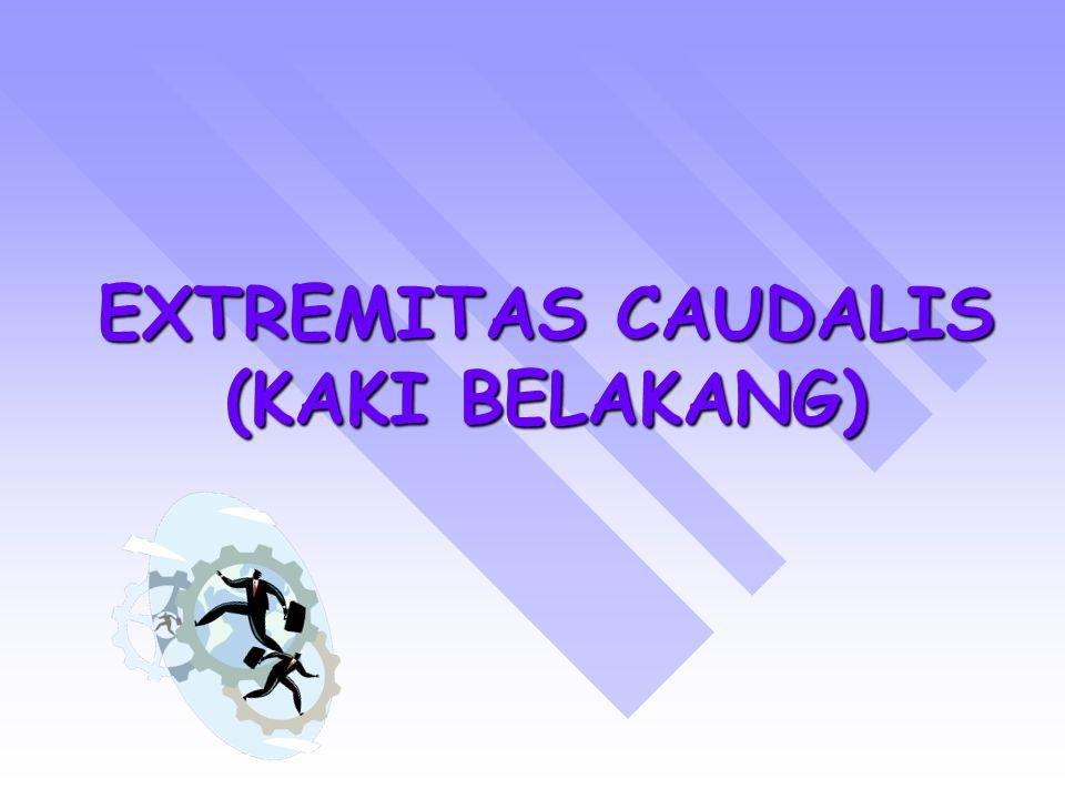 CONDYLUS LATERALIS RELATIF BERBENTUK PERSEGI EMPAT (MENYERUPAI PELANA) RELATIF BERBENTUK PERSEGI EMPAT (MENYERUPAI PELANA) BAGIAN TEPI DISEBUT MARGO INFRAGLENOIDALES → TEMPAT MELEKATNYA CAPUT OSSIS FIBULA BAGIAN TEPI DISEBUT MARGO INFRAGLENOIDALES → TEMPAT MELEKATNYA CAPUT OSSIS FIBULA DIJUMPAI PULA SULCUS UNTUK BERJALANNYA TENDON M.