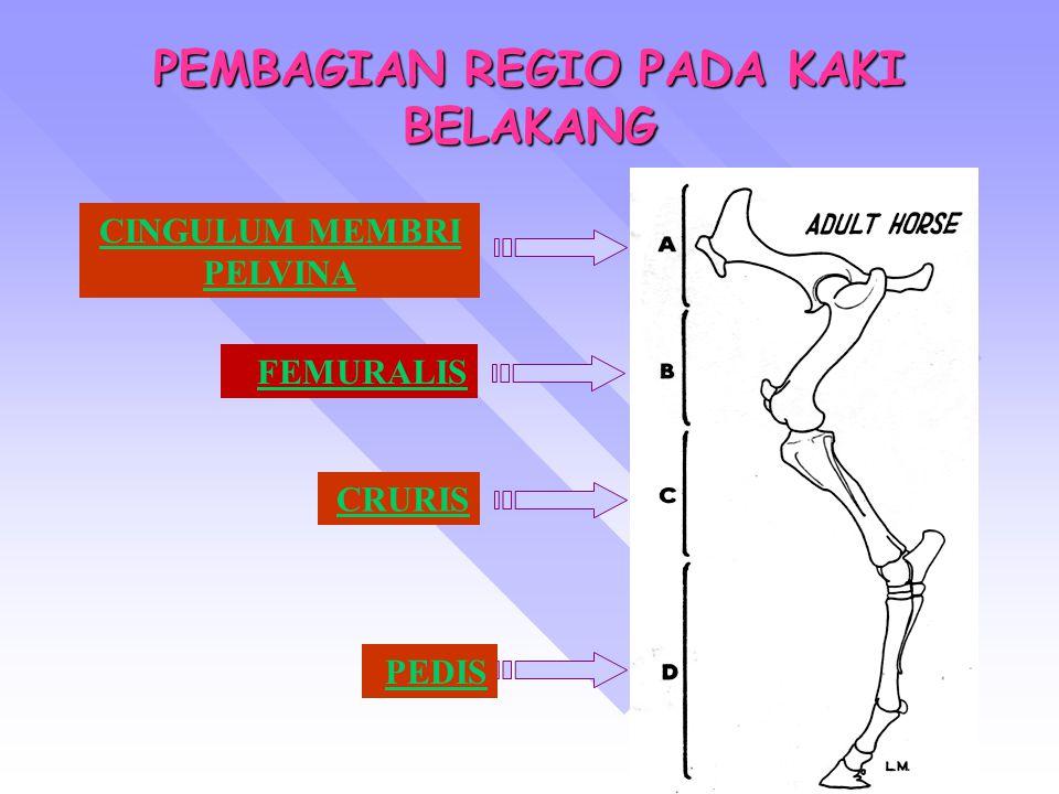 PEMBAGIAN REGIO PADA KAKI BELAKANG CINGULUM MEMBRI PELVINA FEMURALIS CRURIS PEDIS