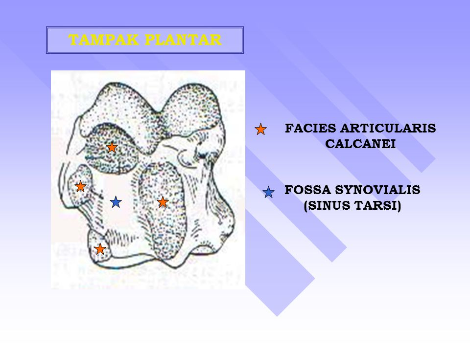 TAMPAK PLANTAR FACIES ARTICULARIS CALCANEI FOSSA SYNOVIALIS (SINUS TARSI)
