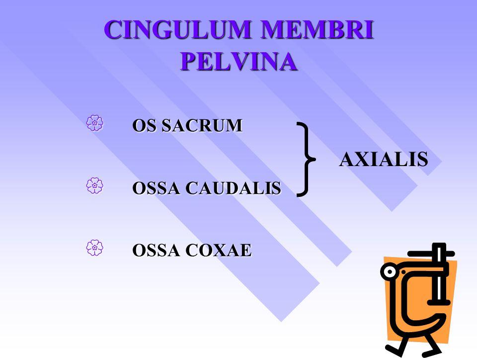 CINGULUM MEMBRI PELVINA  OS SACRUM  OSSA CAUDALIS  OSSA COXAE AXIALIS