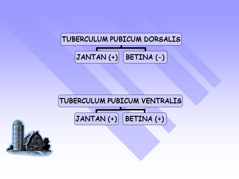 TUBERCULUM PUBICUM DORSALIS JANTAN (+)BETINA (-) TUBERCULUM PUBICUM VENTRALIS JANTAN (+)BETINA (+)