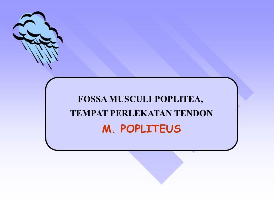 FOSSA MUSCULI POPLITEA, TEMPAT PERLEKATAN TENDON M. POPLITEUS
