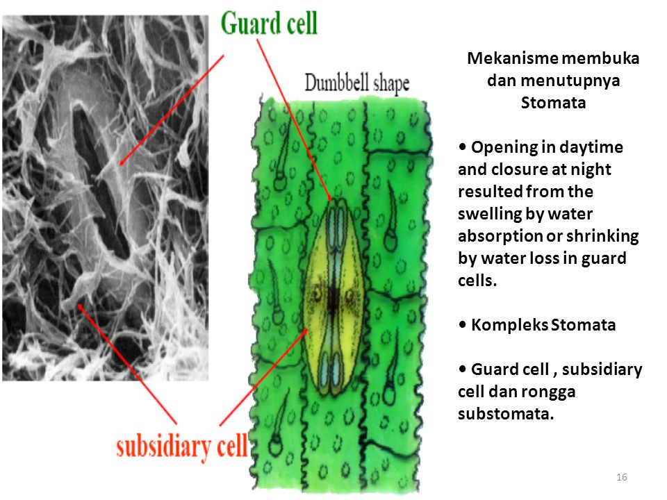16 Mekanisme membuka dan menutupnya Stomata Opening in daytime and closure at night resulted from the swelling by water absorption or shrinking by water loss in guard cells.