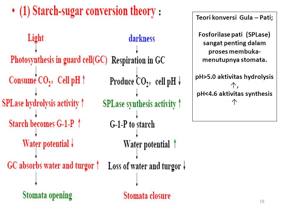 18 Teori konversi Gula – Pati; Fosforilase pati (SPLase) sangat penting dalam proses membuka- menutupnya stomata.