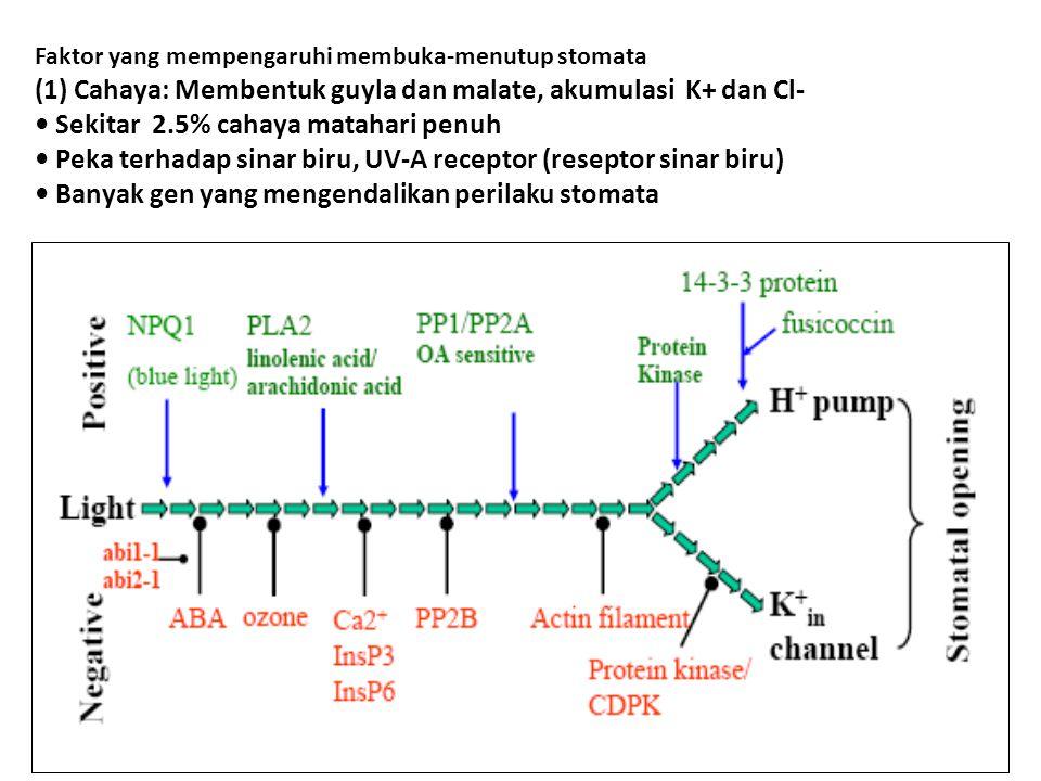 22 Faktor yang mempengaruhi membuka-menutup stomata (1) Cahaya: Membentuk guyla dan malate, akumulasi K+ dan Cl- Sekitar 2.5% cahaya matahari penuh Peka terhadap sinar biru, UV-A receptor (reseptor sinar biru) Banyak gen yang mengendalikan perilaku stomata
