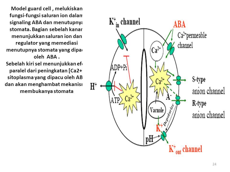24 Model guard cell, melukiskan fungsi-fungsi saluran ion dalam signaling ABA dan menutupnya stomata.