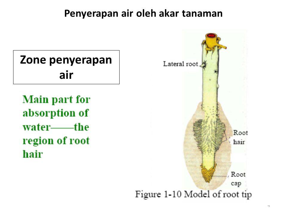 4 Penyerapan air oleh akar tanaman Zone penyerapan air