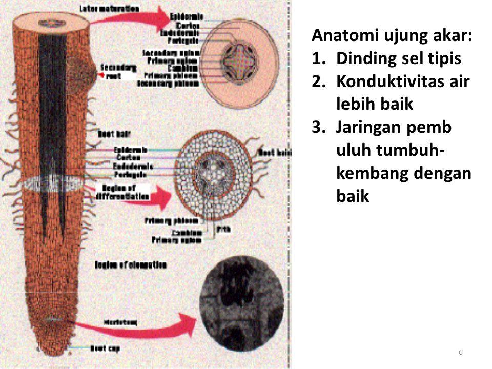 6 Anatomi ujung akar: 1.Dinding sel tipis 2.Konduktivitas air lebih baik 3.Jaringan pemb uluh tumbuh- kembang dengan baik
