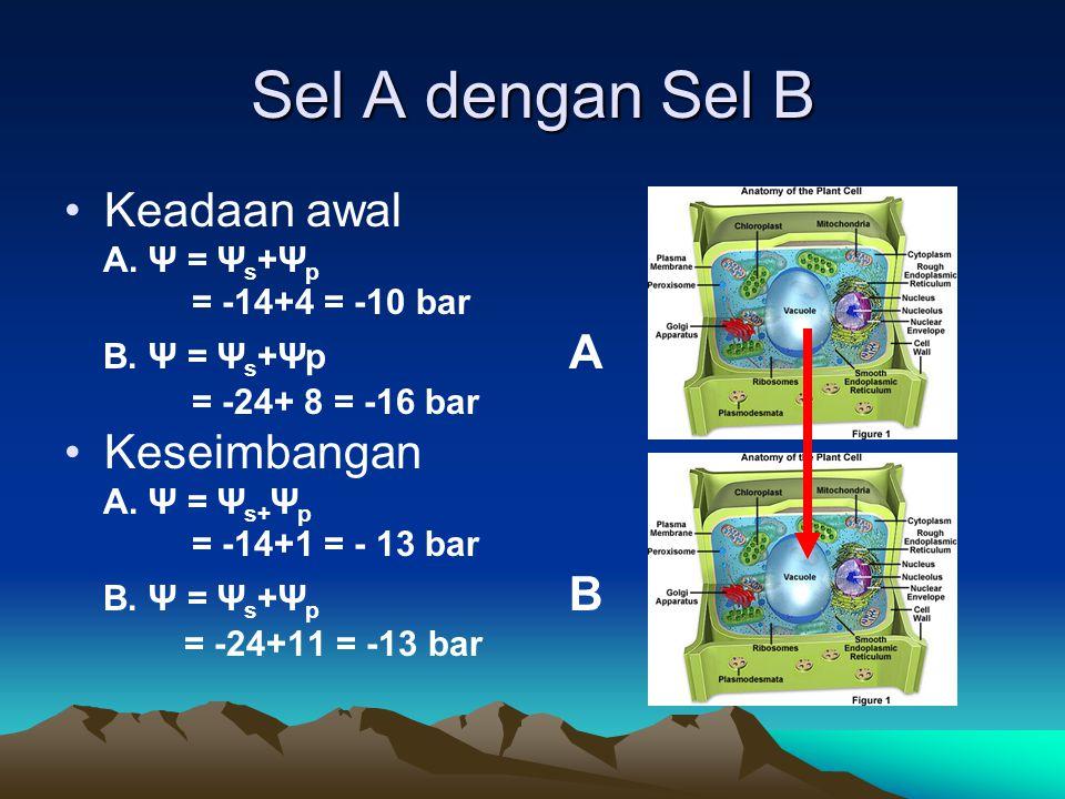 Sel A dengan Sel B Keadaan awal A. Ψ = Ψ s +Ψ p = -14+4 = -10 bar B. Ψ = Ψ s +Ψp A = -24+ 8 = -16 bar Keseimbangan A. Ψ = Ψ s+ Ψ p = -14+1 = - 13 bar