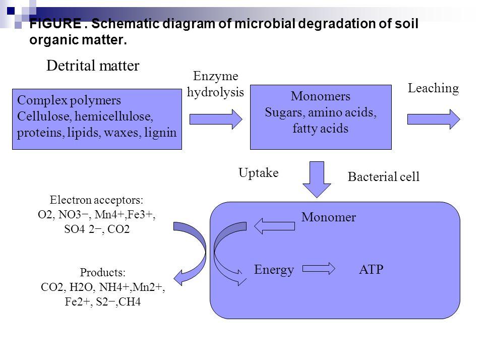 Jenis-jenis prokarota yang berperan dalam biosintesis asam lemak tidak jenuh tunggal rantai panjang AnaerobAerob E.