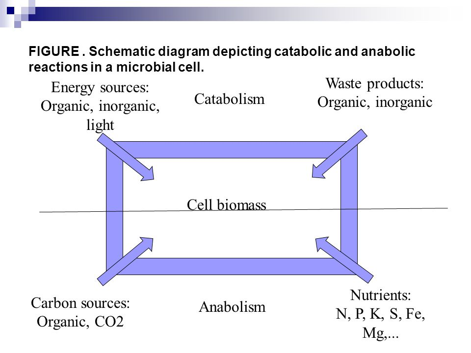 FIGURE.Schematic diagram depicting catabolic and anabolic reactions in a microbial cell.
