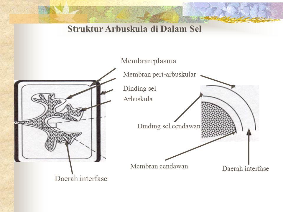 Struktur Arbuskula di Dalam Sel Membran plasma Membran peri-arbuskular Dinding sel Arbuskula Daerah interfase Dinding sel cendawan Membran cendawan Da