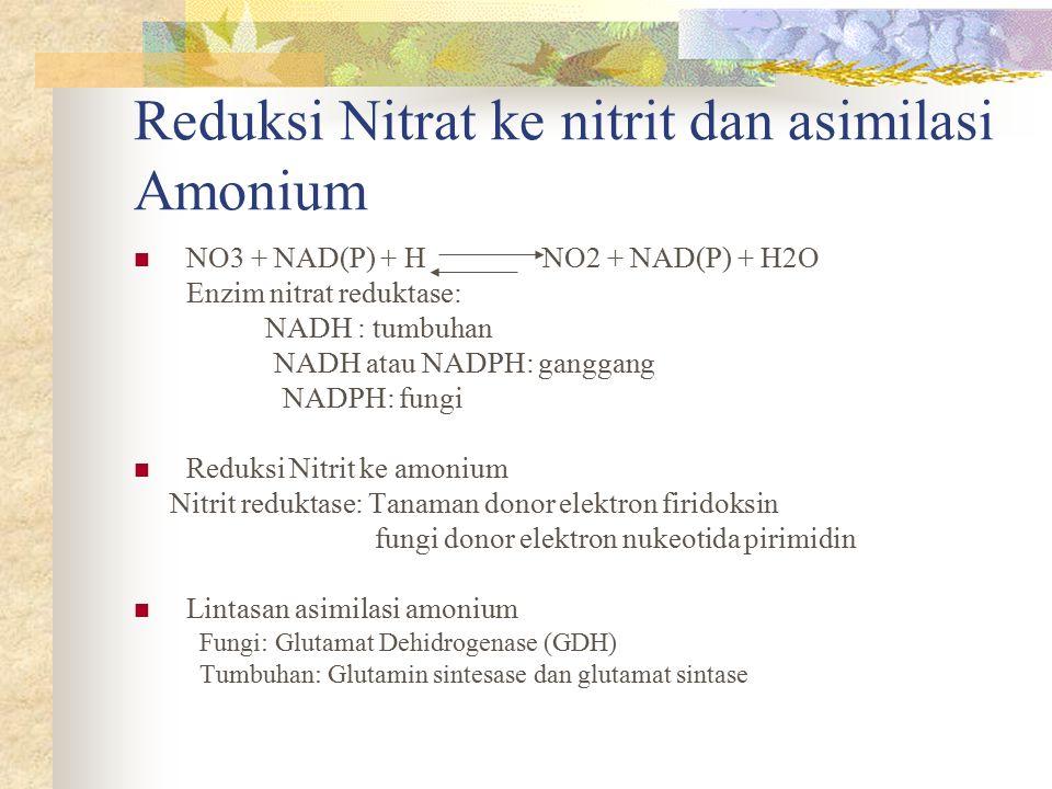 Reduksi Nitrat ke nitrit dan asimilasi Amonium NO3 + NAD(P) + H NO2 + NAD(P) + H2O Enzim nitrat reduktase: NADH : tumbuhan NADH atau NADPH: ganggang N