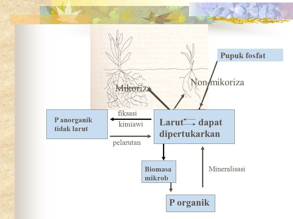 Pupuk fosfat Mikoriza Non-mikoriza P anorganik tidak larut Larut dapat dipertukarkan fiksasi kimiawi pelarutan Biomasa mikrob P organik Mineralisasi