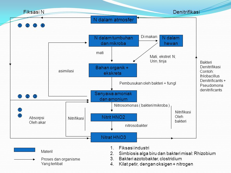 N dalam atmosfer Fiksasi NDenitrifikasi 1234 N dalam tumbuhan dan mikroba N dalam hewan Bahan organik + ekskreta Senyawa amoniak dan amonium Nitrit HN