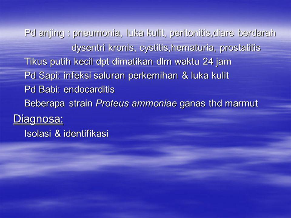 Proteus ammoniae Proteus ammoniae dpt diisolasi dr manusia penderita cystitis Distribusi dan penularan: Bakteri ini dapat dijumpai pd semua hewan Morfologi : Batang pendek (0,5 – 1,4u), motil (flagella peritrich) Gram -, spora – Daya tahan: Peka terhadap desinfektan biasa,penicillin Pertumbuhan dpt dihambat oleh Streptomycin Keganasan: Proteus ammoniae dpt menyerang hewan & manusia