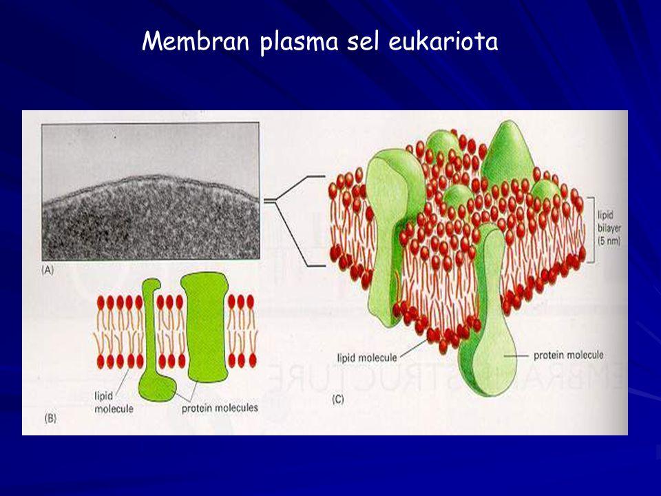 Membran plasma sel eukariota