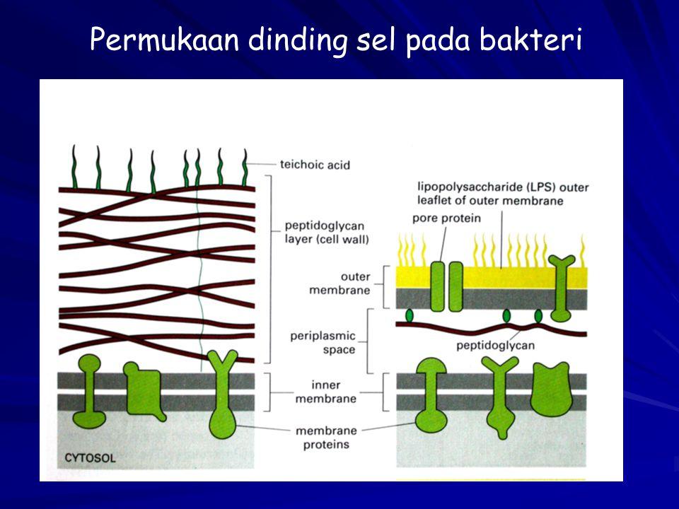 Permukaan dinding sel pada bakteri